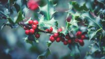 The Tradition of Mistletoe at Christmas