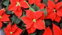 The Complete History of Poinsettias & Christmas